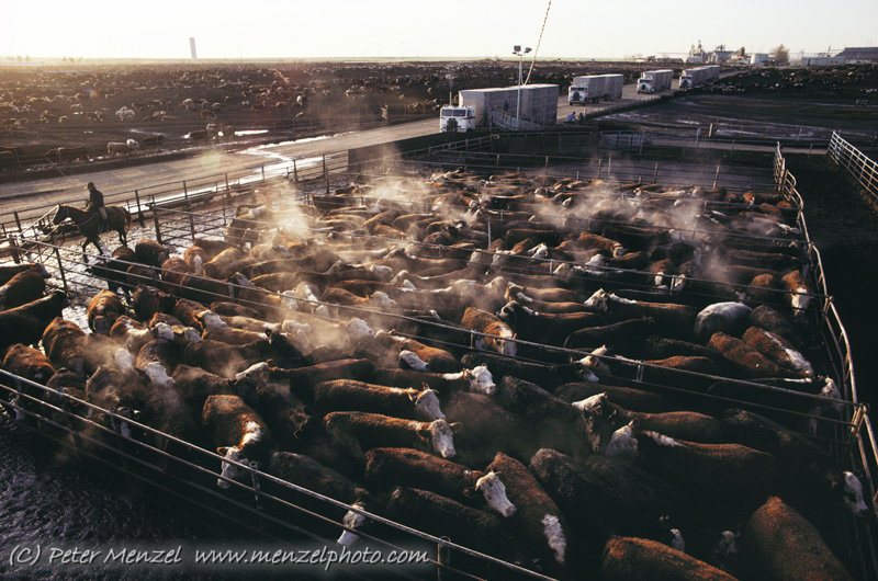 CAFO-crowded-cows