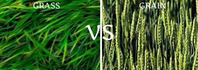 grass fed vs grain fed meat