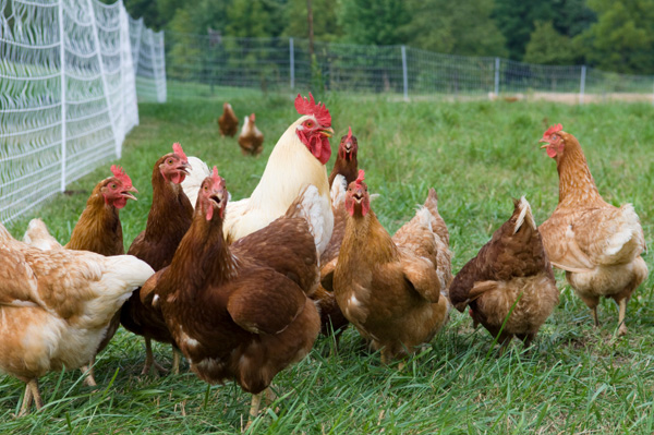 free range vs factory chicken